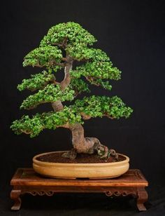 """GALLERY PORTULACARIA AFRA  The first one that is in training for about 20 years, and owned by the current vice-president (2010) of the """"T..."""