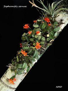 Cattleya cernua (Sophronitis cernua)