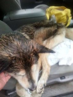 #Founddog 6-25-14 #Candor #NY #SiberianHusky 96B Malnourished 607-624-5286 LOST DOGS OF THE FINGER LAKES https://m.facebook.com/story.php?story_fbid=525272190912589&id=430069850432824