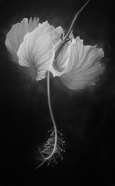 ღღ Black And White Hibiscus Print - Fine Art America