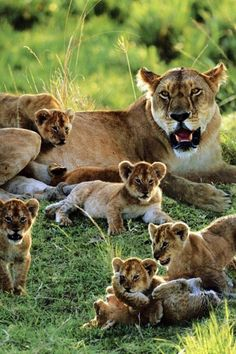 lionness and her cubs - tribu