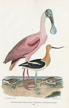 Spoonbill, American Avocet, Plover, Sandpiper USD$85 Alexander Wilson Natural History of Birds of the United States 1832