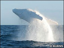 Migaloo. The worlds only white humpback whale