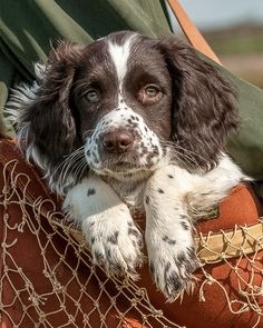 Working springer spaniel puppy.