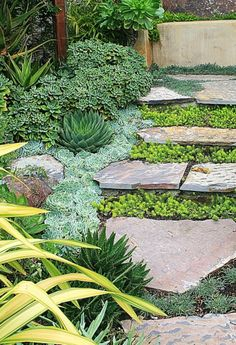 Succulent groundcovers