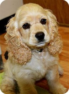 Love this pretty little cocker spaniel and she has found a new home!  #adoptdontshop