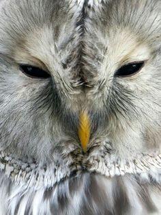 ❆❆❆ Furry Face of the Ural Owl 30 Nov. 2015 ❆❆❆