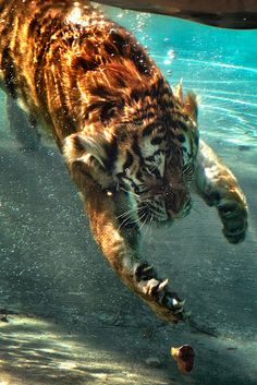 Good Lord!  Look at those claws, as this gorgeous tiger dives for a hunk of meat.