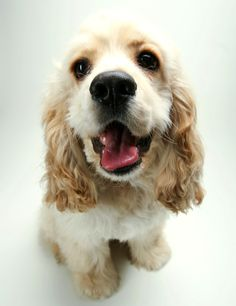 cockers are devious little evil geniuses-- it& a good thing they& so cute. The 30 Cutest Cocker Spaniel Puppies You& Ever See American Cocker Spaniel, Cocker Spaniel Puppies, English Cocker Spaniel, Cute Puppies, Cute Dogs, Dogs And Puppies, Doggies, Best Dog Breeds, Best Dogs
