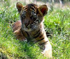 Baby Tiger, Tacoma, WA