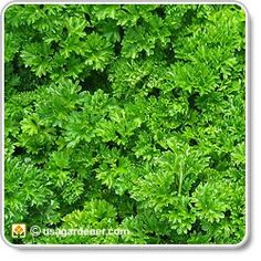 Parsley - growing Parsley - how to grow Parsley/ ATTRACTS: Black Swallowtail But. Growing Tomatoes, Growing Herbs, Parsley Growing, Parsley Plant, Baby Tomatoes, Cherry Tomatoes, Organic Gardening, Gardening Tips, Vegetable Gardening