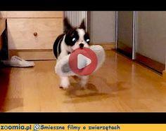 Polowanie na kapcie Śmieszne Filmy Psy http://Zoomia.pl