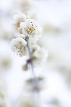 """""""Ume white"""" by yocca on Flickr"""