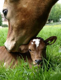 I grew up with cows just like this. They are so sweet and loving!! The calves are so much fun to watch. They romp and play just like puppies or kitties!