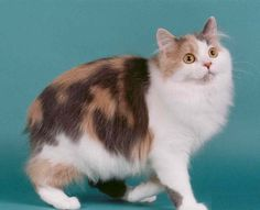 Cymric cat = 51 Cute Cat Breeds With Their Pictures Gato Manx, Manx Cat, Long Hair Cat Breeds, Cute Cat Breeds, Dog Breeds, Beautiful Cats, Animals Beautiful, Pretty Cats, Singapura Cat