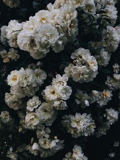 Rosa helenae.