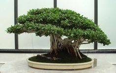 Tips For A Thriving Ficus Ginseng Ficus Ginseng Bonsai, Ficus Microcarpa, Bonsai Tree Types, Indoor Bonsai Tree, Plantas Bonsai, Bonsai Styles, Miniature Trees, Flowering Shrubs, Small Trees
