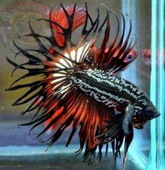 Pretty Fish, Cool Fish, Beautiful Fish, Animals Beautiful, Beautiful Creatures, Betta Fish Types, Betta Fish Tank, Beta Fish, Tropical Freshwater Fish