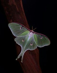 Luna Moth. I've seen several of these lately. So beautiful.