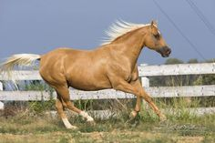 Ok.... THIS IS LIKE MY KIND OF HORSE!! This color is called a Palimino. ( which by the way is both a breed and a color)