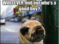 Funny pictures about Sad Pug. Oh, and cool pics about Sad Pug. Also, Sad Pug. Funny Dog Memes, Funny Animal Memes, Animal Quotes, Funny Dogs, Funny Animals, Cute Animals, Funny Quotes, Animal Humor, Dog Quotes
