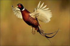 летающие HD обои фазан золотой охлаждения полноэкранные изображения