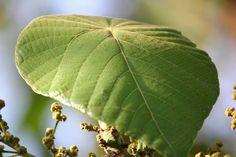 podiyani plant - പൊടിയനി Trees To Plant, Plant Leaves, Back To Nature, Greenery, Flora, Seeds, Plants, Tree Planting, Plant