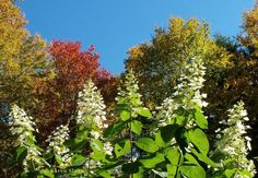 Hydrangeas and Autumn leaves