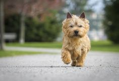 Norwich Terrier - GoodHousekeeping.com