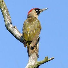 Green Woodpecker - The Lodge Pretty Birds, Beautiful Birds, Green Woodpecker, South East Europe, Woodland Creatures, Bird Watching, Bird Feathers, Bird Houses, Woodpeckers
