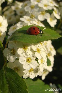 [*- Mariquita y bellas florecitas al sol] » ladybug