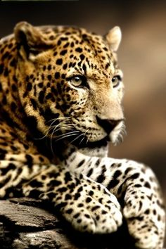 """a wise man once said, """"spots bring smiles"""" this leopard is a perfect example of this saying... don't u agree"""