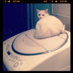 [洗濯機の上*2012/09/23]     洗濯機の上からこんばんにゃん✧ ₍˄ุ.͡˳̫.˄ุ₎ฅ˒˒