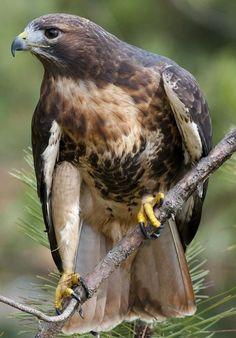Pesquisa (Bird of Prey) Dunway Enterprises - http://www.dunway.com/bird_package/index.html