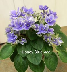 Honey Blue Ace • H. Pittman • 8/14/2003 9265 • Miniature • Semidouble dark blue pansy/white edge.  •  Medium green, plain.  Flickr - Photo Sharing!