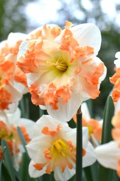 Unusual, exclusive, hard to get, newly introduced or rare flower bulbs? These are the varieties that you'll find in our Elite Bulb collection. Daffodil Bulbs, Bulb Flowers, Daffodils, Narcissus Flower, Daffodil Flower, Cactus Flower, Flower Beds, Rare Flowers, Beautiful Flowers