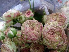 #Rosa #Rose #Jadara: Available at www.barendsen.nl