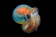 hatchling octopus