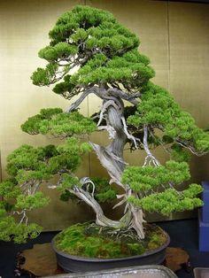 by:William Feldman #bonsai