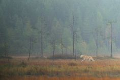 A wolf running through a swamp in Kuhmo.