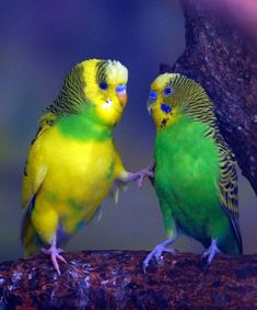 Although pathetic to onlookers budgie fights are taken seriously by the participants leading to savagely ruffled feathers and grievously bruised feelings.