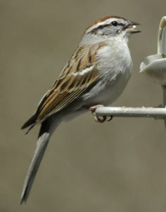 Chipping sparrow, profile