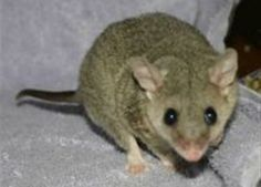 Short-tailed Opossum Care Sheet . atozanimalcare.com . pets . animal care sheets . cute
