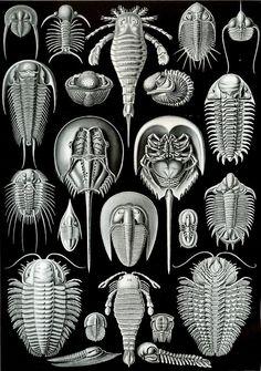 ernst haeckel - trilobites