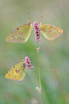 Whatsapp  by Javier Delgado on 500px #yellow #butterflys
