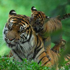 Cubs will be cubs...  - Sumatran Tigers @ Washington DC / US National Zoo by Nikographer [Jon], via Flickr