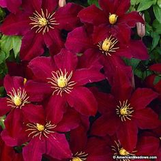 Red Clematis Niobe, Clematis Vine                                                                                                                                                      More