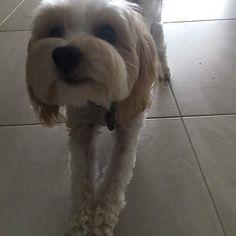 Stretches before our walk nellie #MaltipooLove #maltipoosofinstagram #maltipoo #dogsofinstagram #instagramdogs #dogs #maltese #dogsofig #dog #petsofinstagram#doglovers #picoftheday #pets #maltesecavalier#malteseofinstagram#malteseofficial #dogoftheday#barkhappy#lacyandpaws#weeklyfluff#odefix#furfriend#ilovemaltese#buzzfeed#buzzfeedanimals#mydogiscutest #mydog#instapic #instagramdogs#love#loves_animals by fentiger379