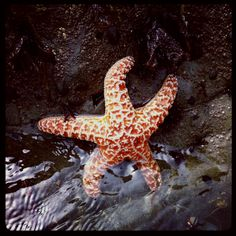 This little guy calls Moonstone Beach in Cambria his home. California Vacation, California Dreamin', Moonstone Beach, Beauty First, Beach Fun, Vacation Destinations, Starfish, Beaches, Bliss