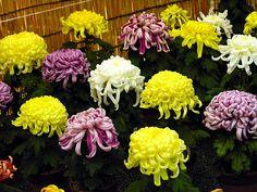 5000 Bulk Chrysanthemum Seeds Exhibition Mix Bulk Seeds